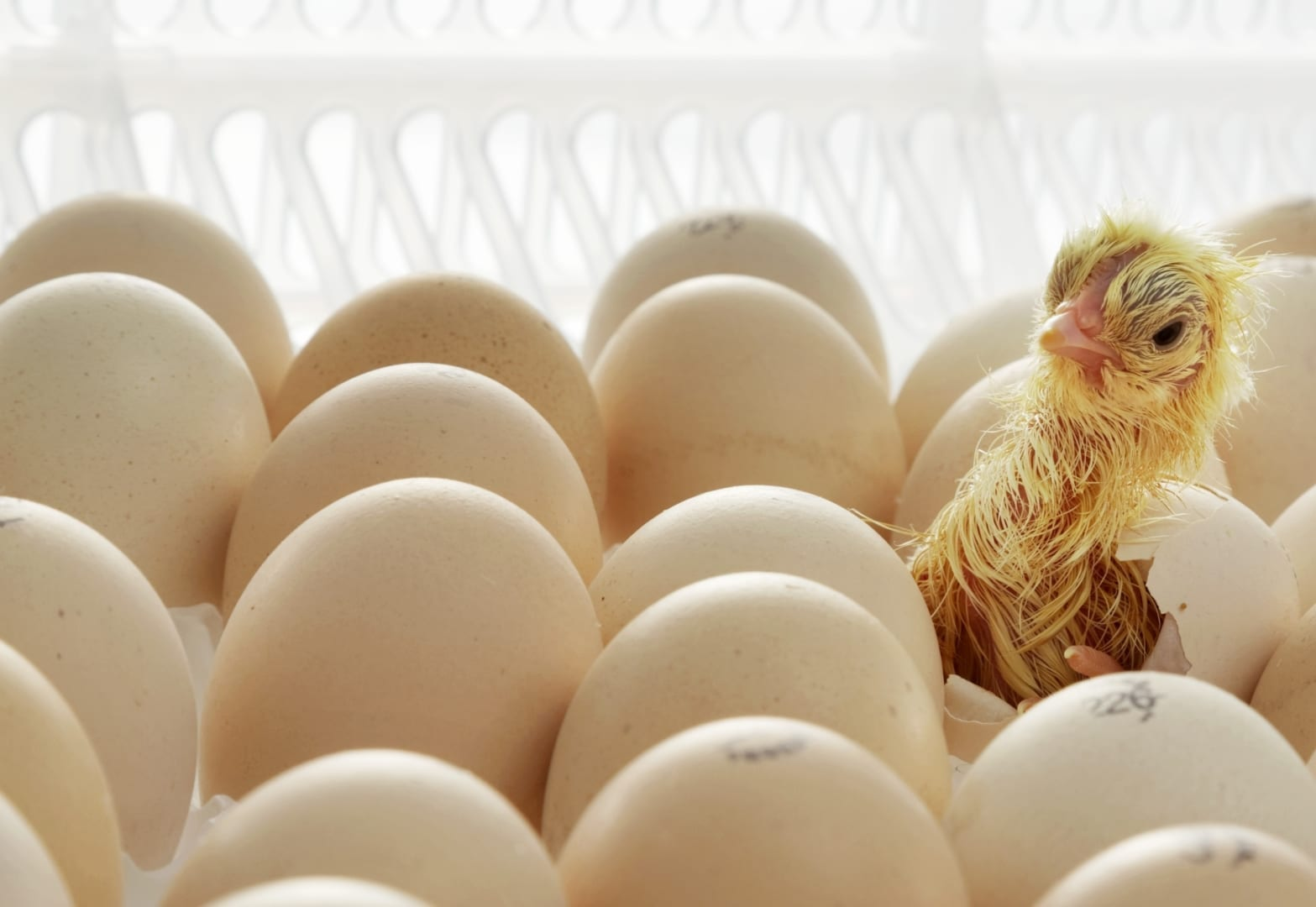 Incubation Technology For Superior Chick Quality Hatchtech